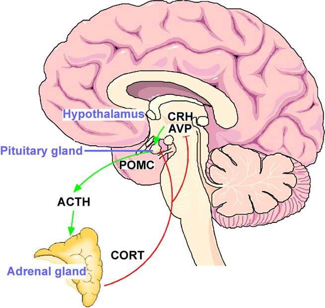 HPA Axis – Stress Hormone